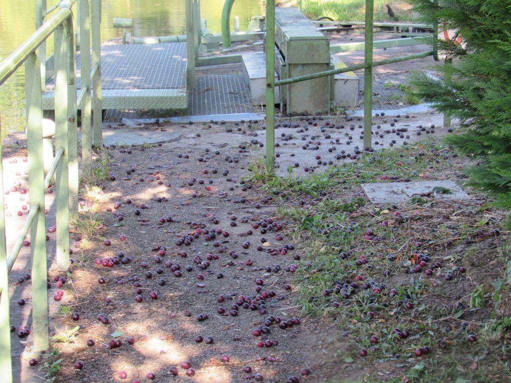 Genelard - free plums!